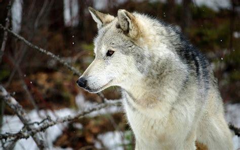 Wolf Desktop Wallpaper Hd by 1080p Wolf Wallpaper Wallpapersafari