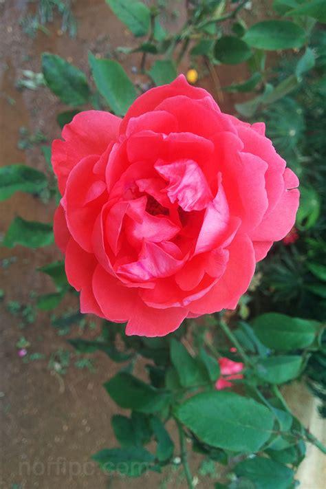 fotos de flores  rosas  fondo de pantalla del celular