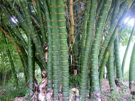bamboo varieties bamboo australia 187 bamboo plants landscaping