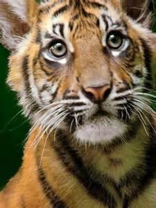 Cub Sumatran Tiger