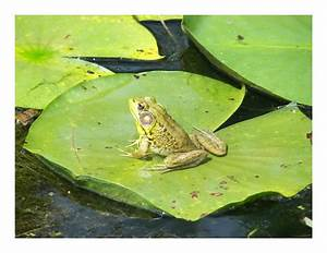 Frog On A Lily Pad by Anarchaic on DeviantArt