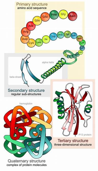Protein Structure Levels Four Bonds Amino Ionic