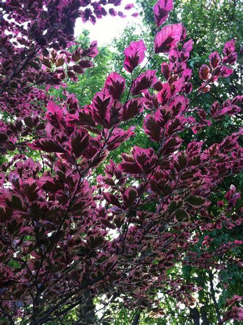 tricolor beech tri color beech garden pinterest