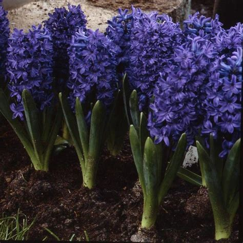 17 Best images about Hyacinthus on Pinterest
