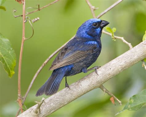 blue bunting audubon field guide