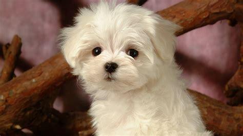 Tiny Non Shedding Dog Breeds by 무성한 작은 개 벽지 23 1920x1080 배경 화면 다운로드 무성한 작은 개 벽지 동물