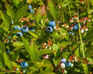 Wild Blueberry Bush | While out for a run this morning I ...