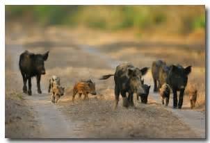 Feral Hog Wild Boar