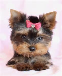 Teacup Yorkie Puppies for Sale in Florida