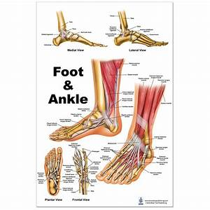 Foot And Ankle Large Poster