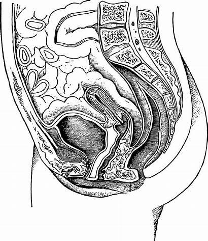 Anatomy Female Domain Illustration Publicdomainpictures