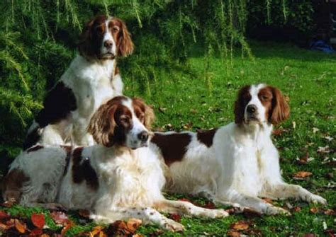 Razze Cani Setter Irlandese Rosso Bianco