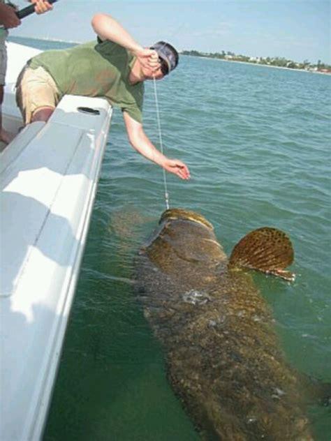 goliath fishing grouper fish giant catch