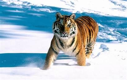 Tiger Siberian Wallpapers