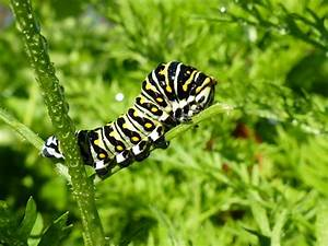 Caterpillars Taking Their Tithe Of The Carrot Tops