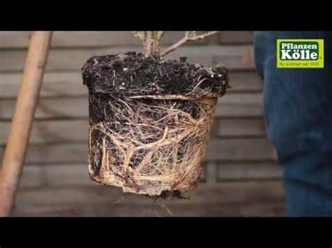 Forsythien Einpflanzen Im Garten  Pflanzenkölle Youtube