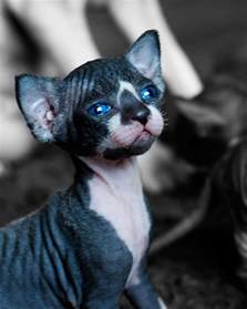blue sphynx cat blue boy sphynx kitten portrait animals sphynx