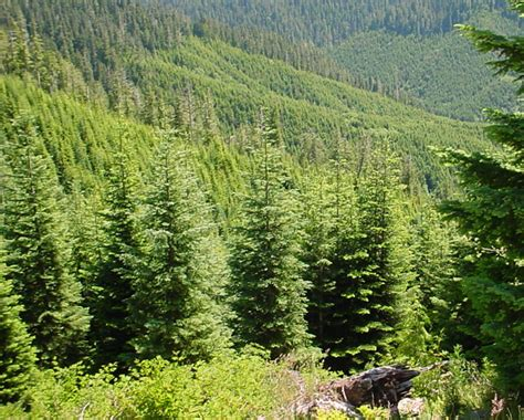 mount washington christmas tree no cutting of trees in state trust forests there are other places you can go ear to