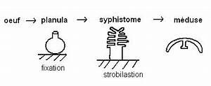 Médusaire : définition de médusaire
