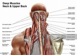 Human Anatomy Showing Deep Muscles In The Neck And Upper ...