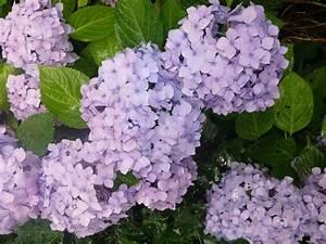Hortensie Endless Summer Standort : 25 trendige endless summer hortensie ideen auf pinterest ~ Lizthompson.info Haus und Dekorationen