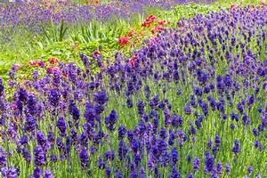 Rosen Und Lavendel : sommerliches blumenbeet mit lavendel und rosen stockfoto bild von bl te beibehalten 55730548 ~ Yasmunasinghe.com Haus und Dekorationen