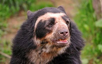 Bear Spectacled Bears Legal Animals Exotic Pet