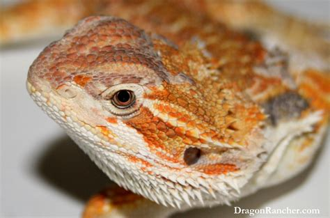 Bearded Shedding by Bearded Dragons Rancher