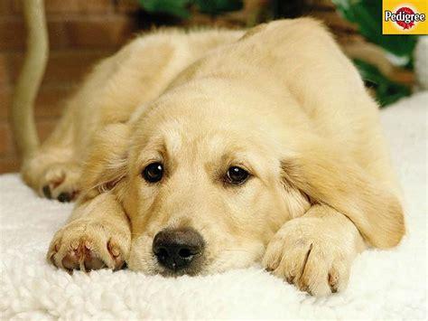 Suņu šķirnes(zelta retrīveri) - Spoki - bildes 2