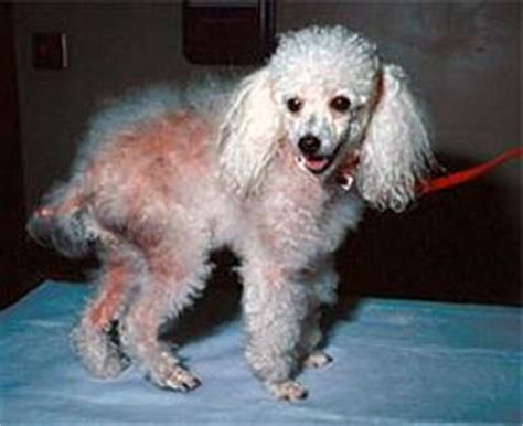 coat funk dog skin diseases treatment coat hair odors