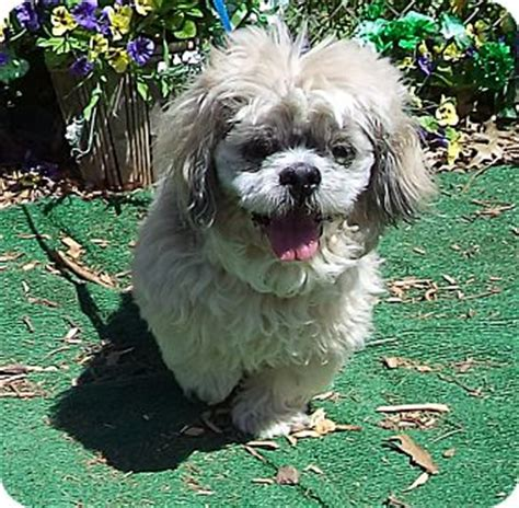 lhasa apso information dog breeds picture