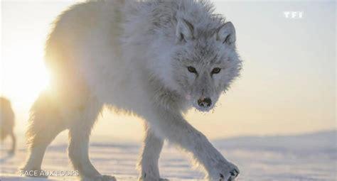bureau photographe vincent munier il a rencontré le loup blanc inapproché