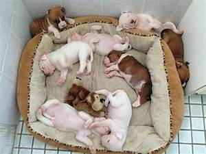 The 25+ best White boxer puppies ideas on Pinterest ...
