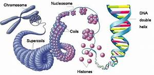 How Could A Chromosome Be Related To Dna