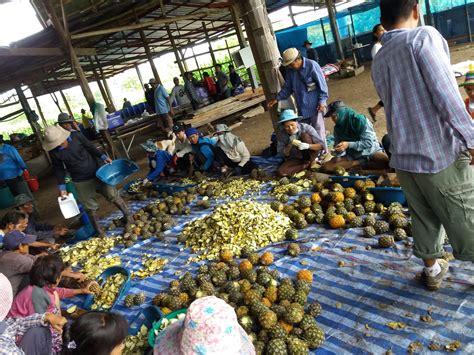 แหล่งขายสับปะรดราคาถูก สำหรับทำปุ๋ยน้ำชีวภาพ โทร/line ...