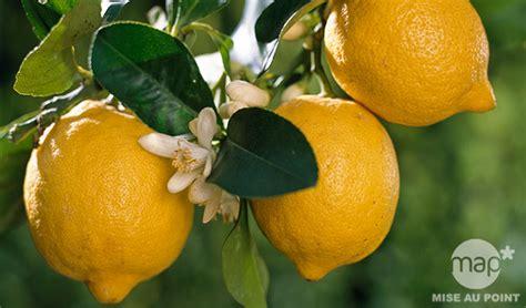 quelles vari 233 t 233 s de citronniers choisir jardinerie truffaut conseils arbres et arbustes
