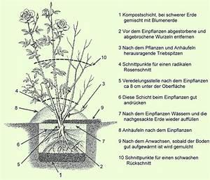 Kletterrosen Richtig Pflanzen : rosen richtig einpflanzen pflanzenfreunde ~ Markanthonyermac.com Haus und Dekorationen