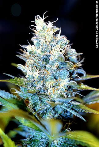 buy ak regular seeds    seeds  seedsman