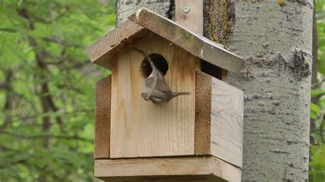 wren builds nest  bird house youtube
