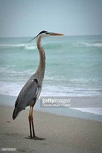 Great Blue Heron Stock Photos and Pictures | Getty Images