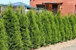 Thuja Hecke Innen Braun : lebensbaum 39 smaragd 39 thuja occidentalis 39 smaragd 39 baumschule horstmann ~ Buech-reservation.com Haus und Dekorationen