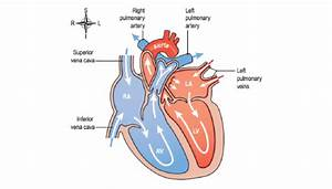 3  Blood Flow Through The Heart  1