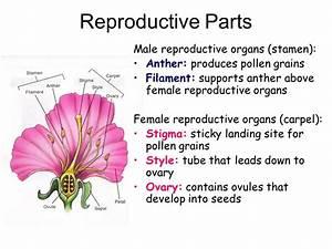 Organ System Of Flower | www.pixshark.com - Images ...