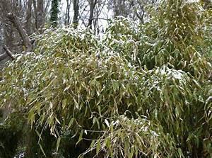 Wie Schnell Wächst Bambus : bambuspflege im winter winterschutz bambus pflege bambuswald bambus und pflanzenshop ~ Frokenaadalensverden.com Haus und Dekorationen