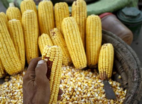 Mutant Maize Sparks Kenyan Mutiny