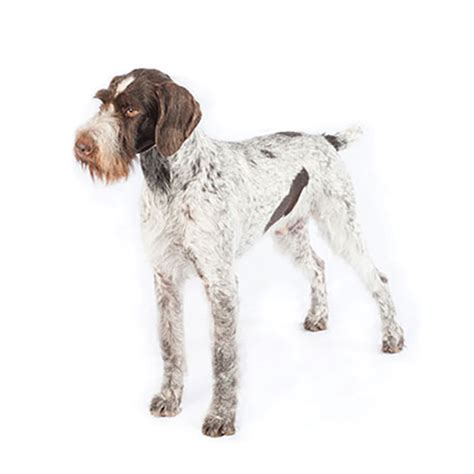 German Wirehaired Pointer Shed by 100 German Wirehaired Pointer Shed St Louis