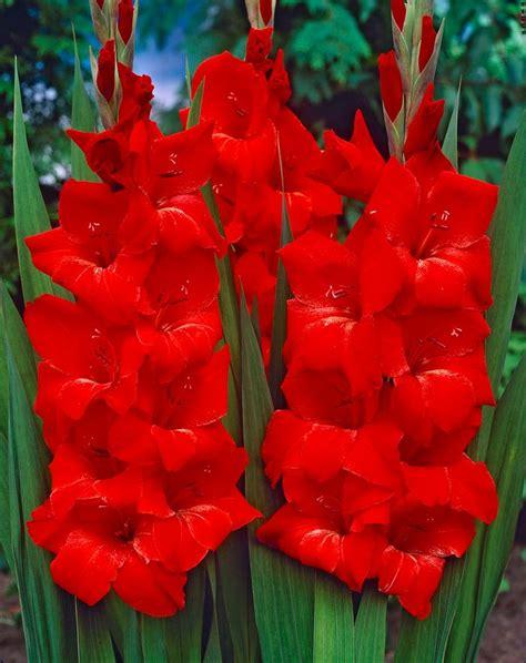 gladiolus large flowering oscar gladiolus  adr bulbs