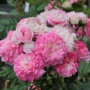 Rosen Düngen Im Frühjahr : aristide briand rosen online kaufen im rosenhof schultheis rosen online kaufen im rosenhof ~ Orissabook.com Haus und Dekorationen