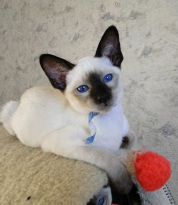 Dynasty Siam Old Style Siamese Cattery