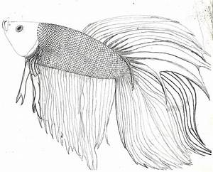 Betta Fish :D And some info. by Zs99 on DeviantArt